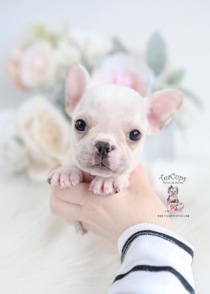 Tiny White French Bulldog Puppy