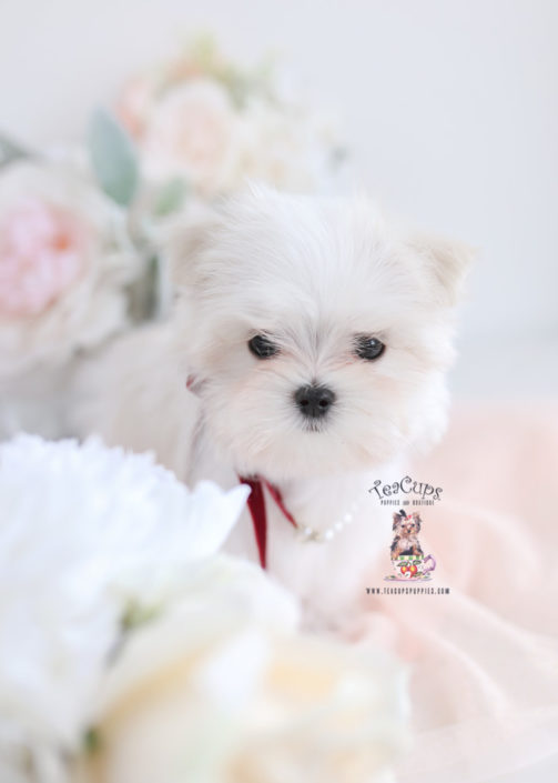 teacup maltese puppy for sale toy teacup puppies for sale teacups puppies boutique 2961