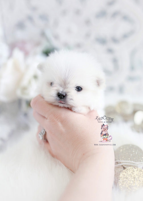 Micro Teacup Puppies Maltipom