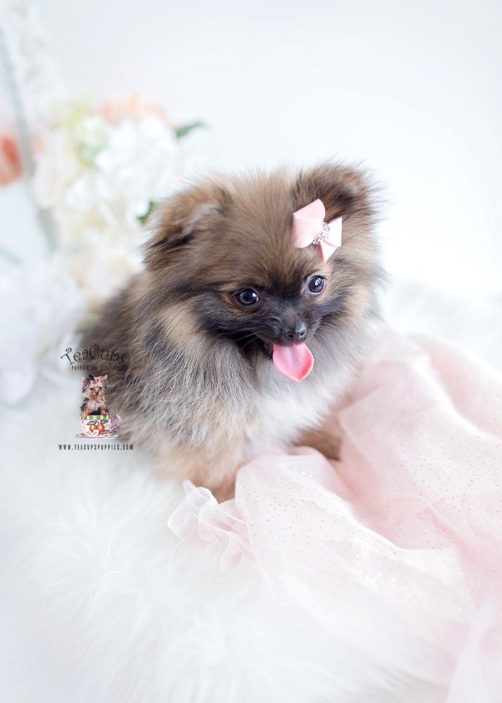 Pomeranian Dogs For Sale