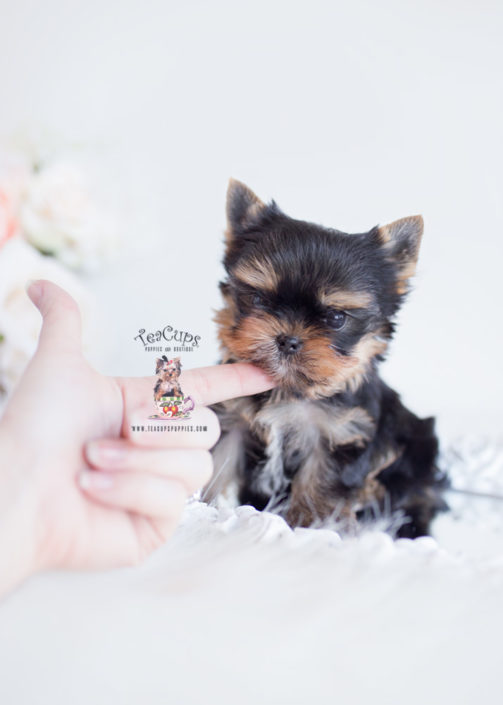 Teacup Yorkie Breeder Florida