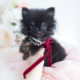 Tiny Black Pomeranian Puppy by TeaCups