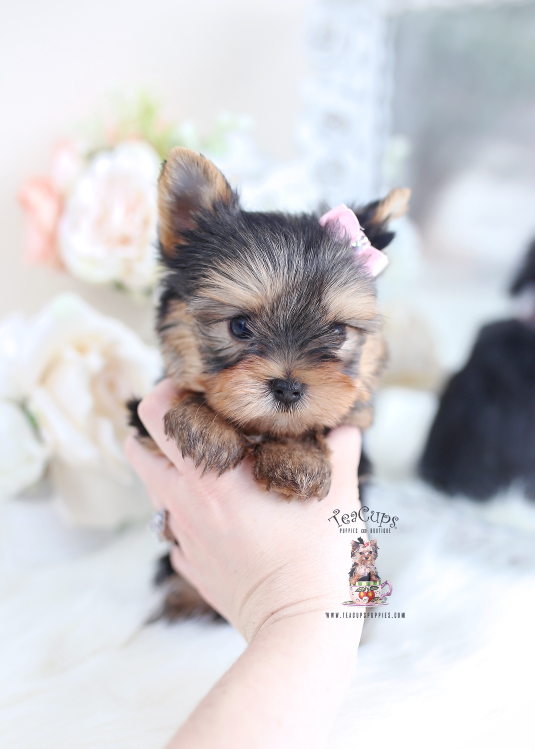 Beautiful Yorkie Puppies For Sale