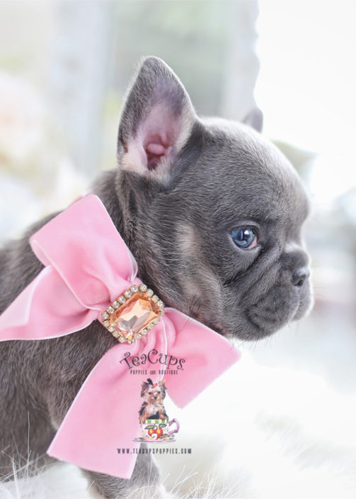 Beautiful Lilac Frenchie Puppy