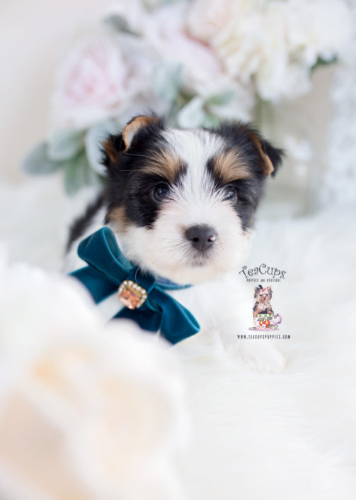 Biewer Terrier Puppies For Sale By Teacups Puppies Boutique