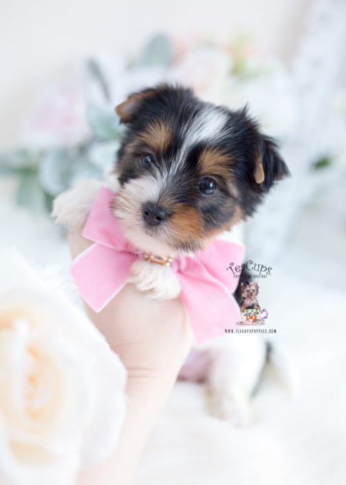 White Yorkie Terriers Goldenacresdogs