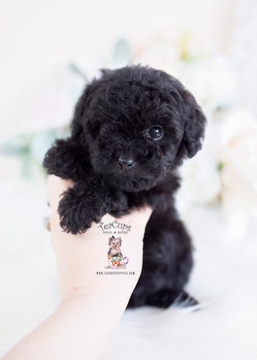 Black Toy Poodle Puppy