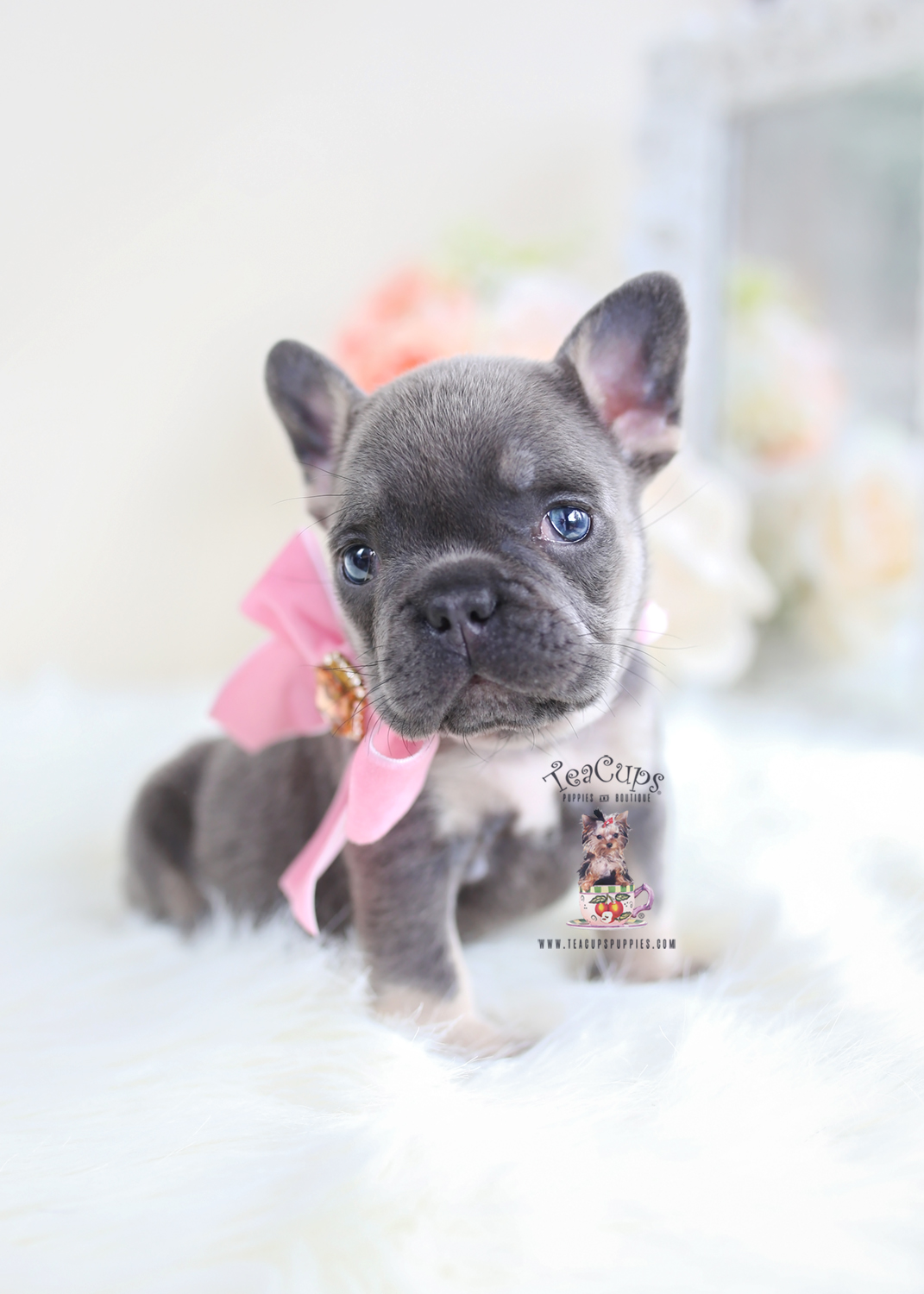 Blue & Tan French Bulldog Puppy
