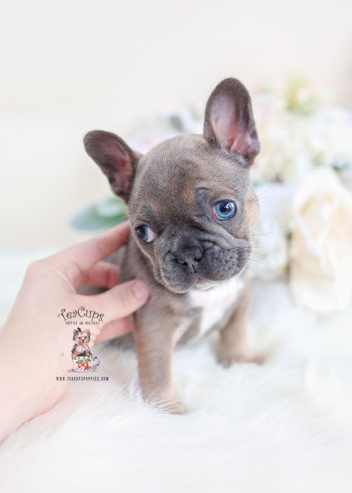 The Best Parrots In The World Blue Merle Mini French Bulldog
