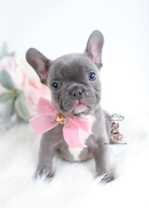 Beautiful Blue Frenchie Puppy