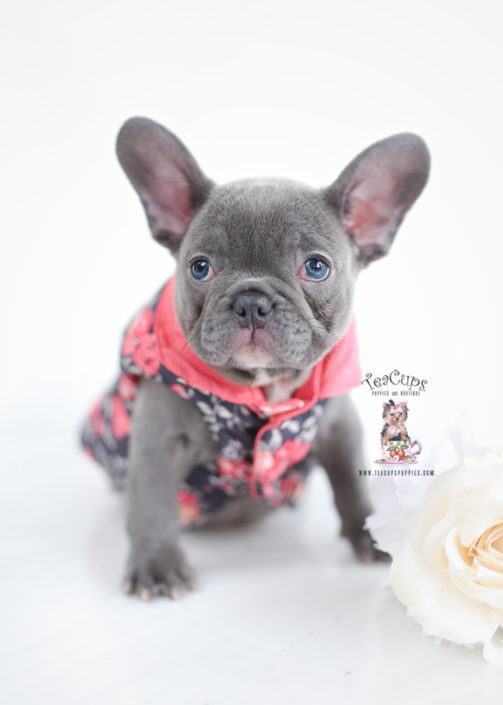 teacup french bulldog for sale french bulldog puppies for sale by teacups puppies 649
