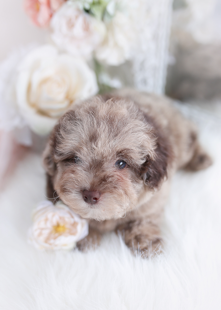 chocolate merle poodle puppy