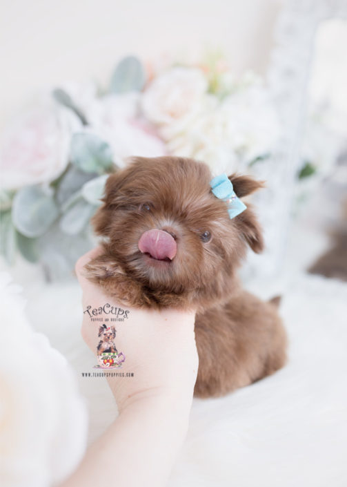 Tiny Imperial Shih Tzu Puppy