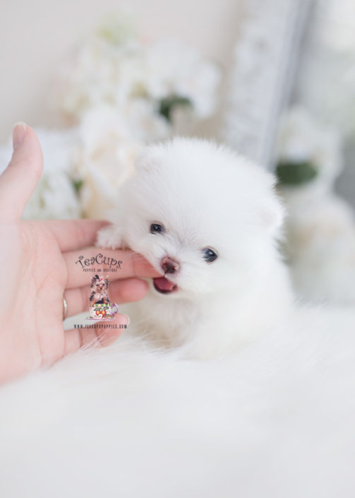 Teacup Pomeranian Breeder