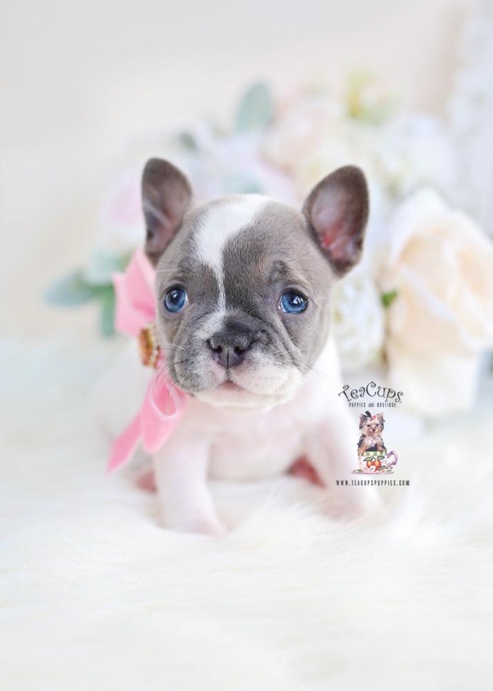 Blue Pied French Bulldog Puppy