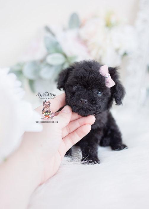 Tiny Black Poodle Puppy