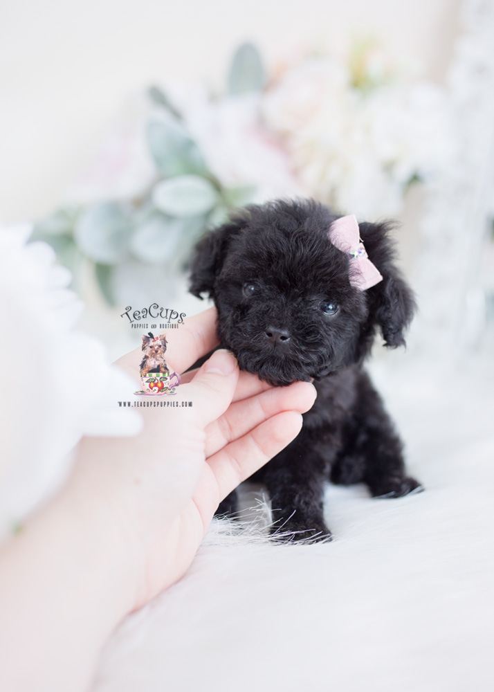 Tiny Black Poodle Puppy