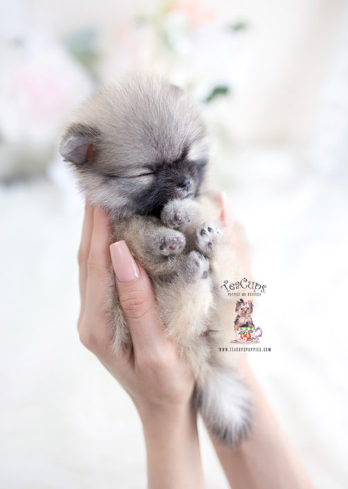 Tiny Teacup Pomeranian Puppy