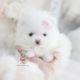 Teenie Tiny Pomeranian Puppy
