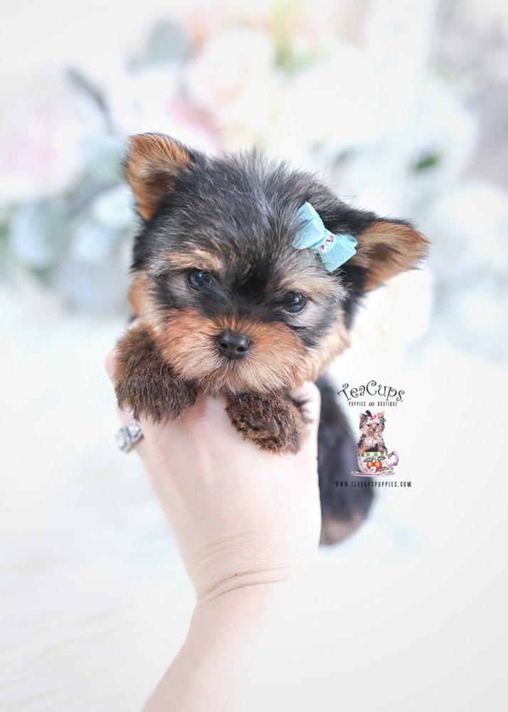 small yorkie puppy yorkshire terrier breeder fl teacups puppies boutique 347
