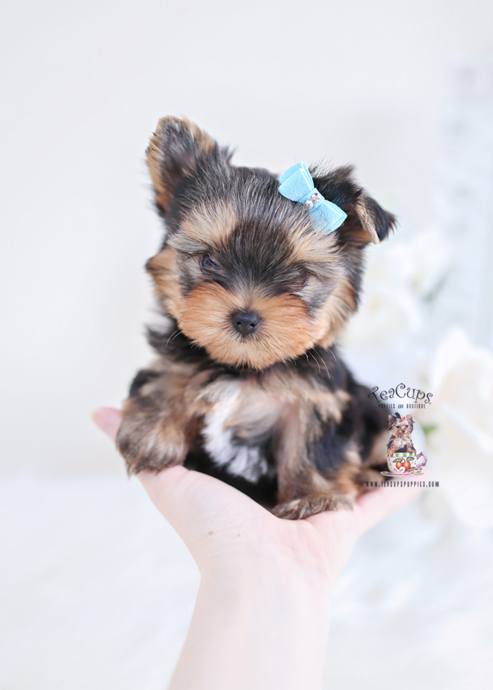 Tiny Yorkie Puppy For Sale