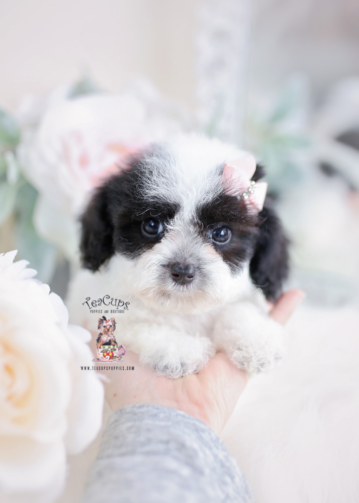 Toy Poodle Puppies For Sale in South Florida