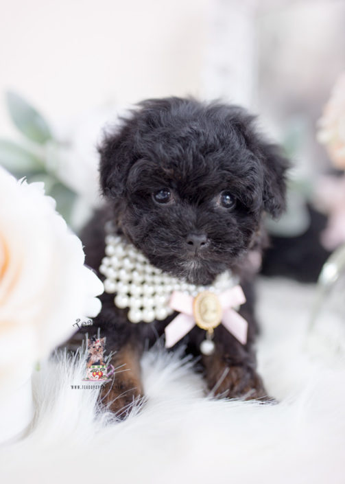 Phantom Toy Poodle Puppy