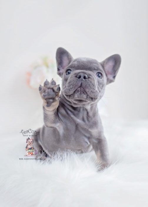 Blue Tan French Bulldog Puppy