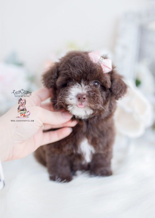 Chocolate Poodle Puppy For Sale