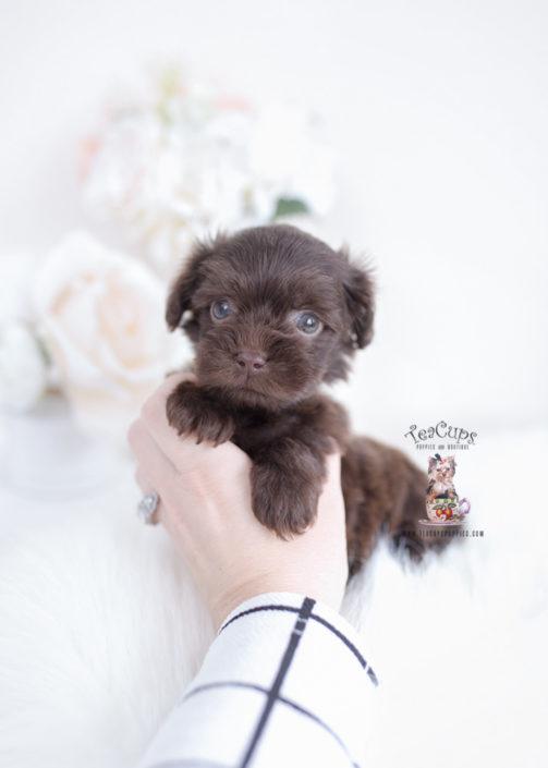 Shih Tzu Poodle Puppies