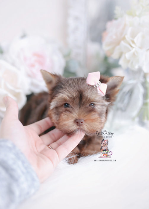 Chocolate Yorkie Puppy For Sale
