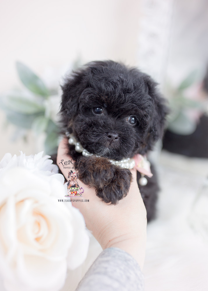 Phantom Toy Poodle Puppies Teacups Puppies Amp Boutique