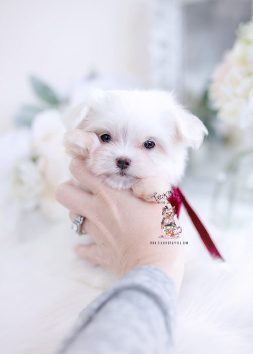 Tiny Maltese Puppy by TeaCup Puppies