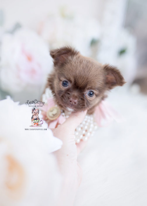 Long Haired Chihuahua Puppy
