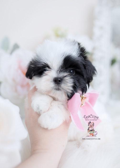 Maltese Shih Tzu Malshi Puppy