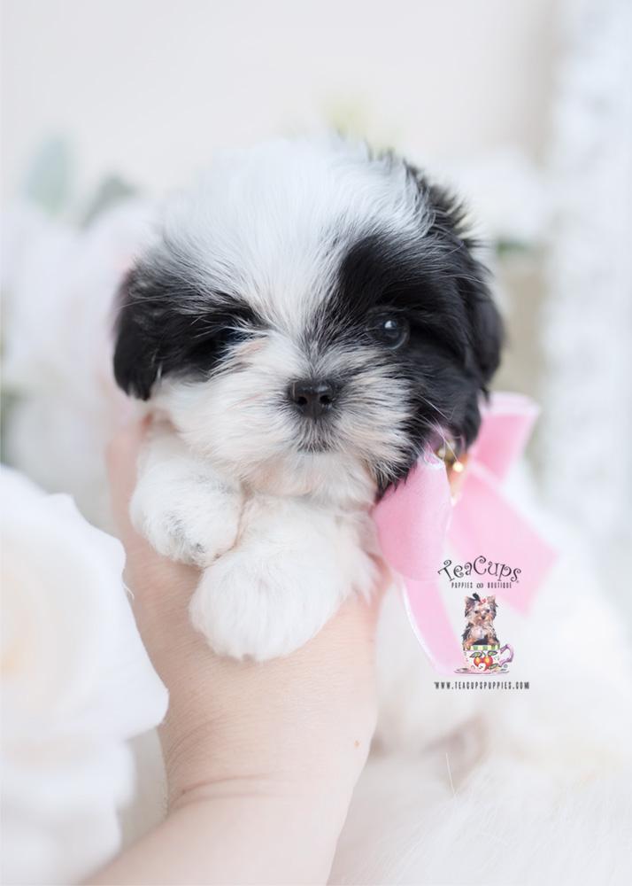 Maltese Shih Tzu Malshi Pups Teacups Puppies Boutique