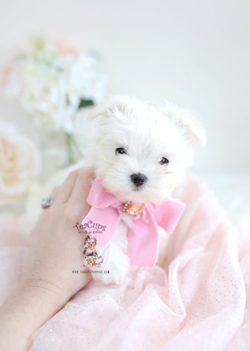 Maltese Puppy by TeaCups Puppies