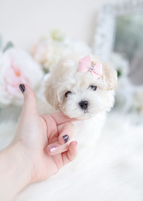 Maltipoo puppy for sale