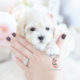Maltipoo puppy by TeaCup Puppies