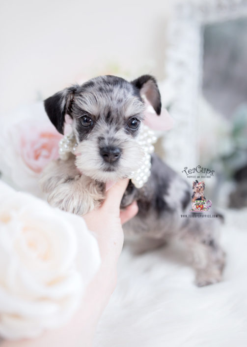 Miniature Mini Schnauzer Puppies For Sale By Teacups Puppies