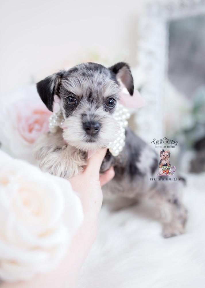 Merle Mini Schnauzer Puppy