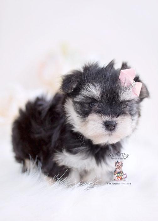 Morkie Puppies Miami