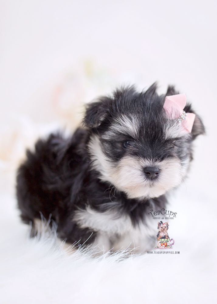 Morkie Puppies Miami