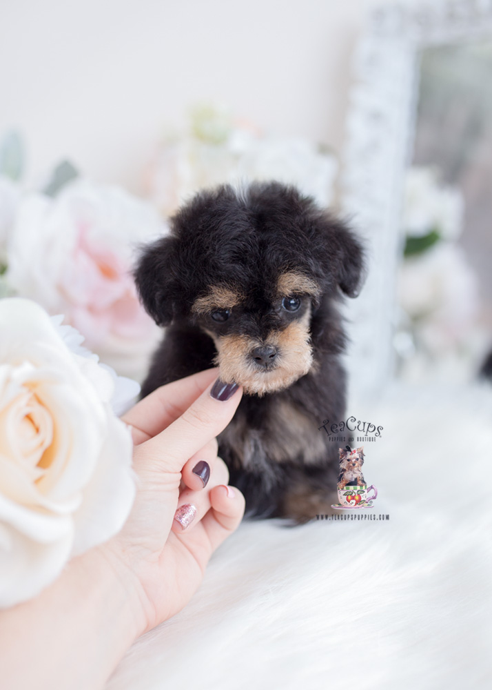 Phantom Toy Poodle Puppies Teacups Puppies Boutique