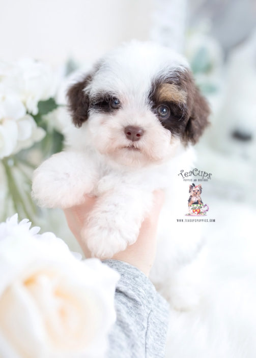 Toy Poodle by TeaCup Puppies
