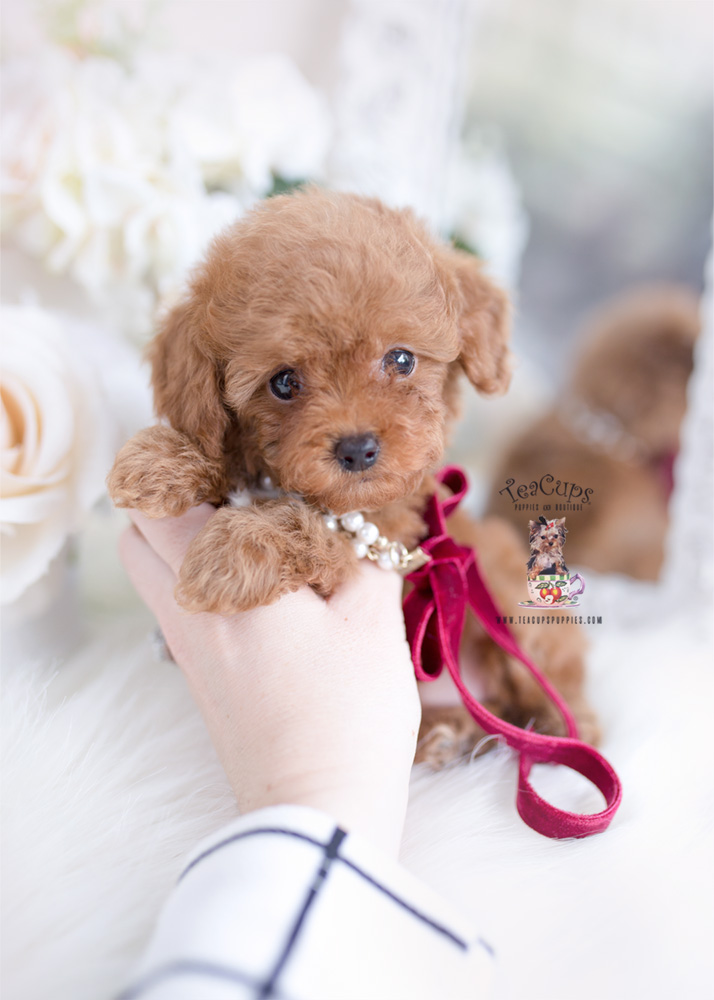 Red Toy Poodle Breeder | Teacups, Puppies & Boutique