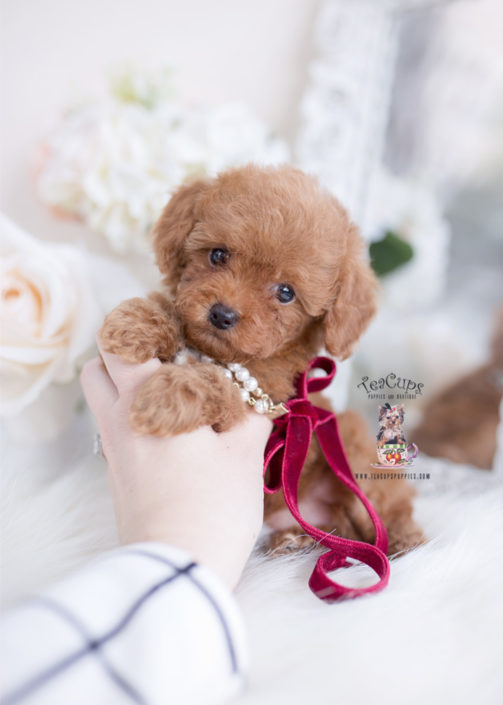 Tiny Red Toy Poode Puppy
