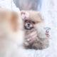 tiny pomernaian puppy