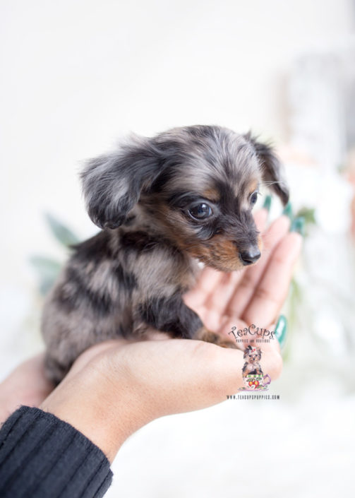 Dapple Long Haired Mini Dachshund Puppy