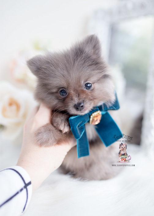 Merle Pomernaian Puppy